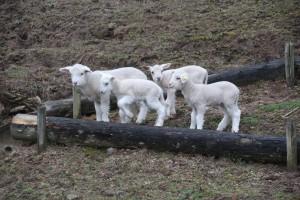 羊の赤ちゃん