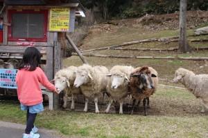 羊たちの毛狩り大会を開催します