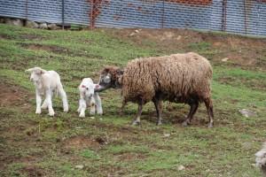 茶色毛のコルデールから白い赤ちゃんが生まれました。